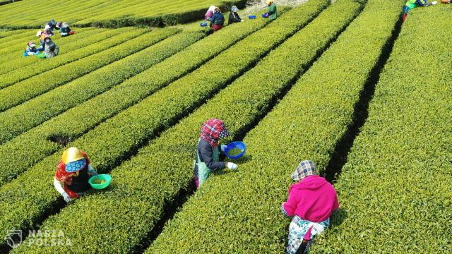 Zbiór zielonej herbaty – Korea Płd.