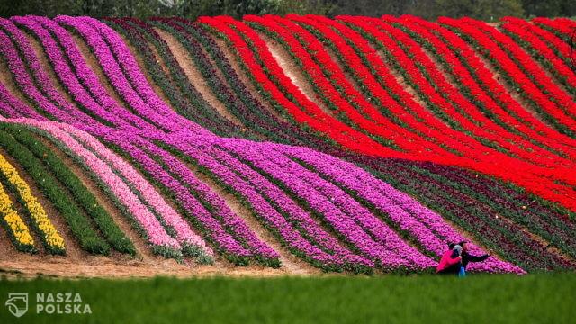 Tulipany – Niemcy