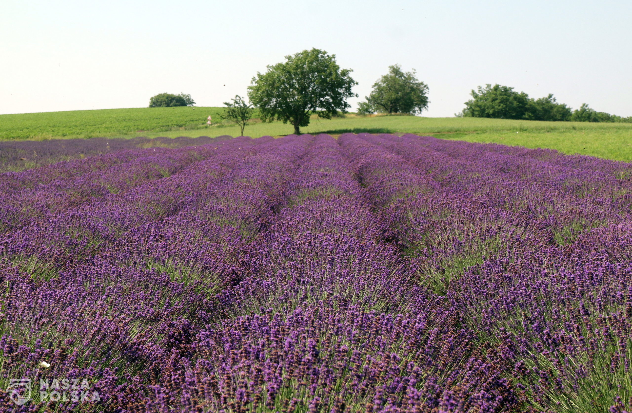 epa08511884 Lavenders are blooming in a field at Alsodobsza, Hungary, 27 June 2020.  EPA/Janos Vajda HUNGARY OUT  Dostawca: PAP/EPA.