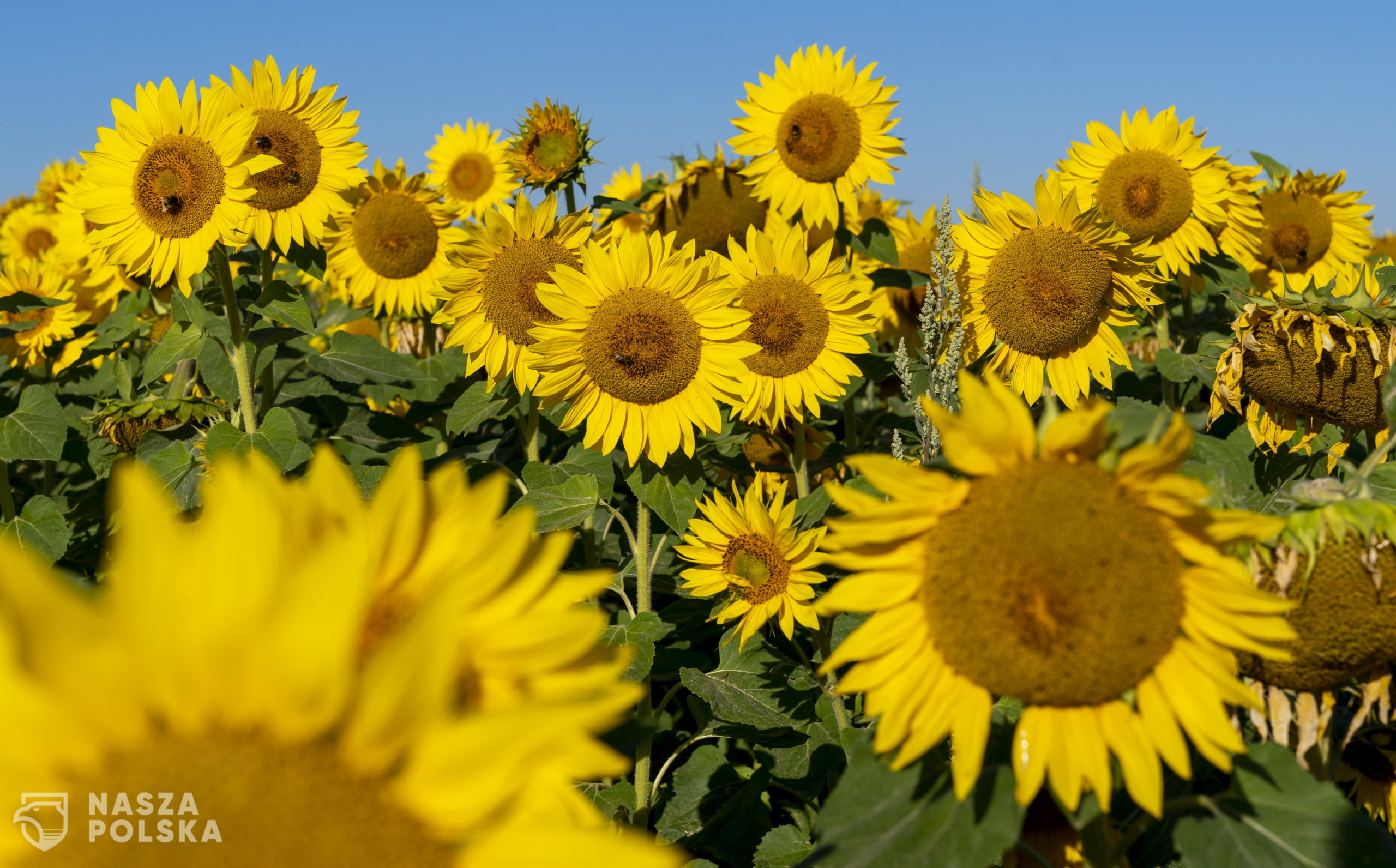 epa08573798 Sunflowers bloom in a field near Alzey, Germany, 30 July 2020. According to weather forecasts, the next days are expected to bring temperatures at about 34 degrees Celsius in south-western Germany.  EPA/RONALD WITTEK  Dostawca: PAP/EPA.