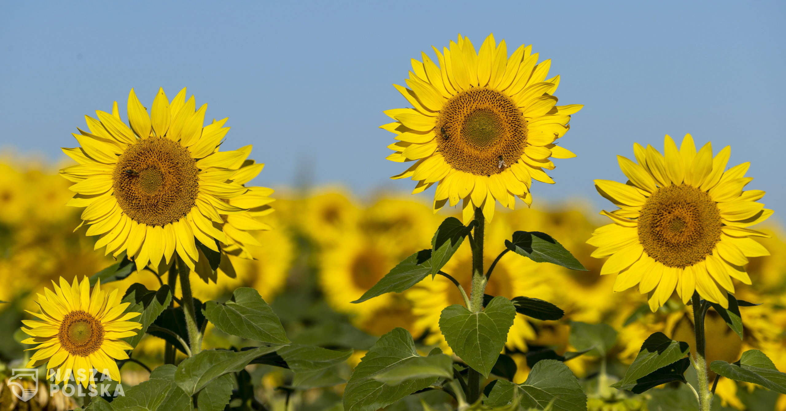 epa08573803 Sunflowers bloom in a field near Alzey, Germany, 30 July 2020. According to weather forecasts, the next days are expected to bring temperatures at about 34 degrees Celsius in south-western Germany.  EPA/RONALD WITTEK  Dostawca: PAP/EPA.