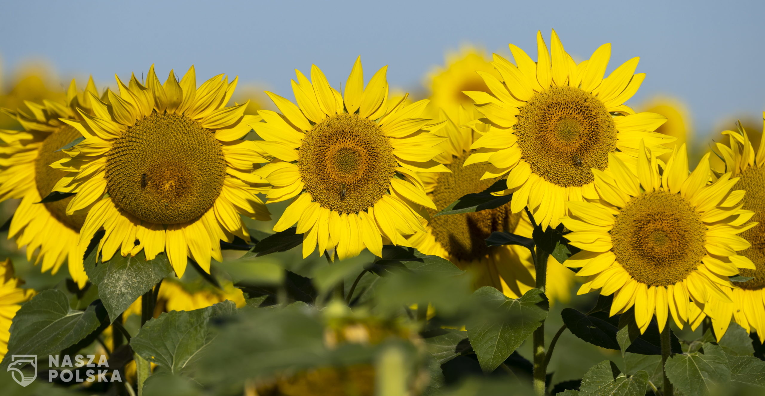 epa08573805 Sunflowers bloom in a field near Alzey, Germany, 30 July 2020. According to weather forecasts, the next days are expected to bring temperatures at about 34 degrees Celsius in south-western Germany.  EPA/RONALD WITTEK  Dostawca: PAP/EPA.
