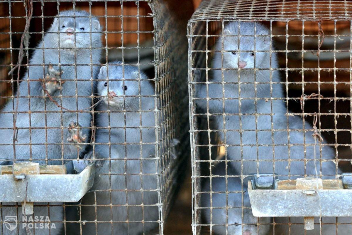 Pierwsze w Polsce przypadki zakażenia koronawirusem u norek hodowlanych