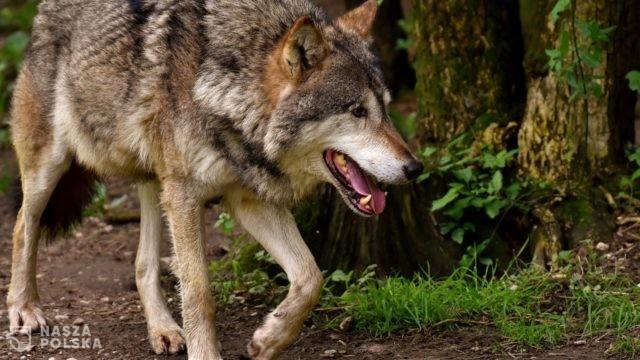 Ludzie udomowili wilki dopiero kilkanaście tys. lat temu