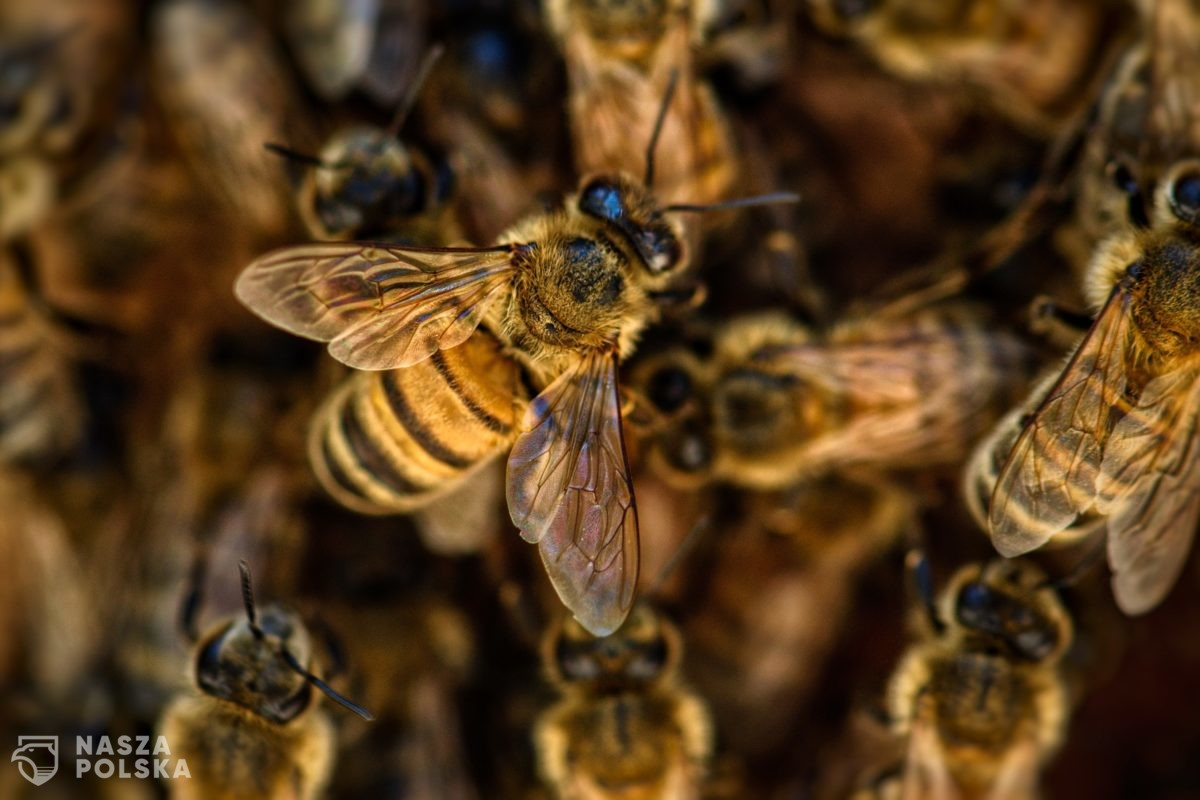 Otruł miliony pszczół. Rolnikowi grozi osiem lat więzienia