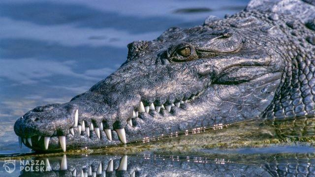 We Wrocławiu ścigają… aligatora