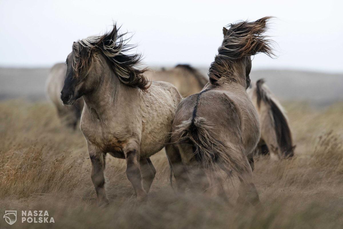 Konie – Dania