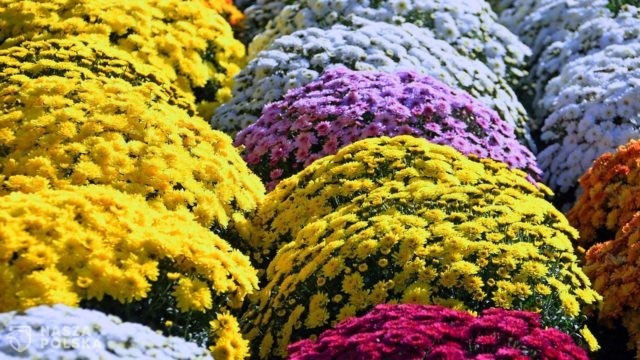 https://naszapolska.pl/wp-content/uploads/2020/11/yellow-chrysanthemum-3767561_1920-640x360.jpg