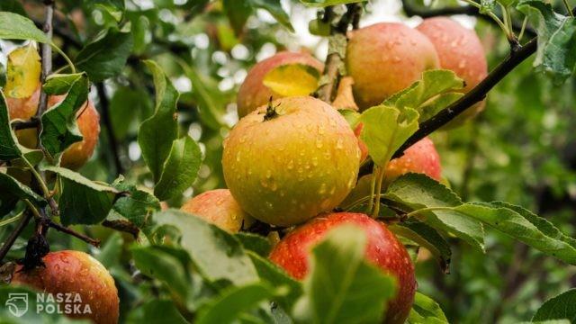 Wkrótce rozpocznie się sezon zbioru jabłek