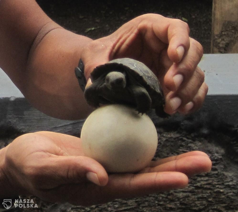 Galapagos_egg_and_hatchling