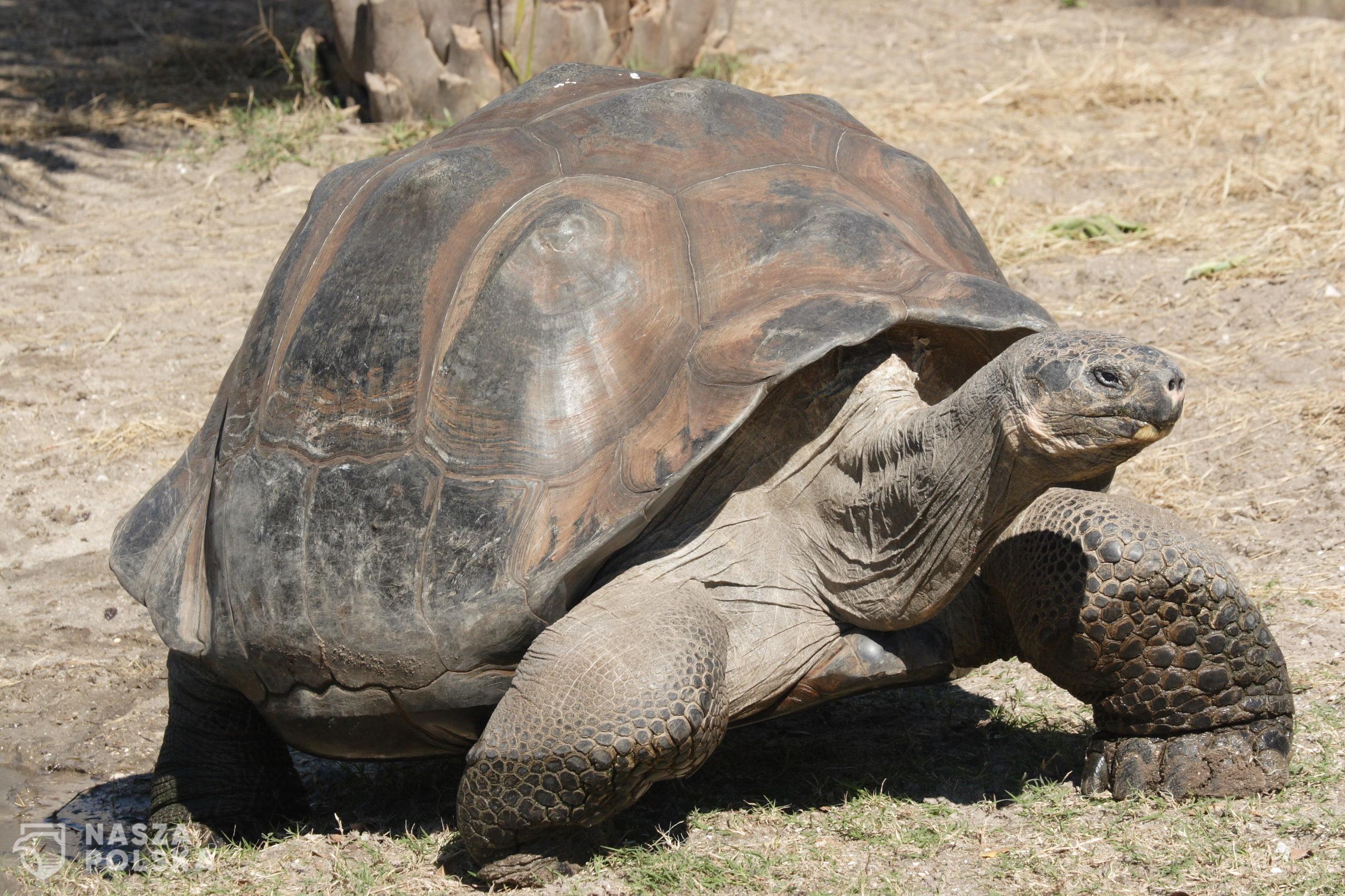Galapagos_giant_tortoise_Geochelone_elephantopus
