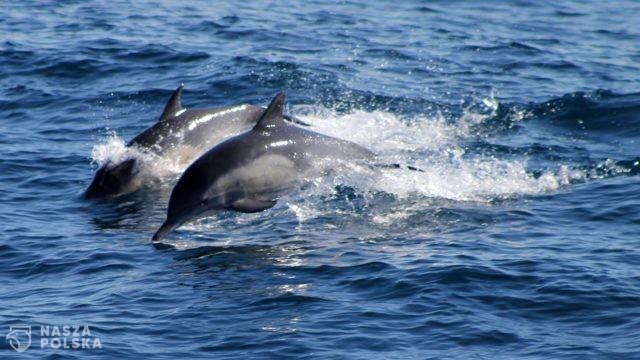 Mozambik/ Na plaży znaleziono ciała około 100 martwych delfinów