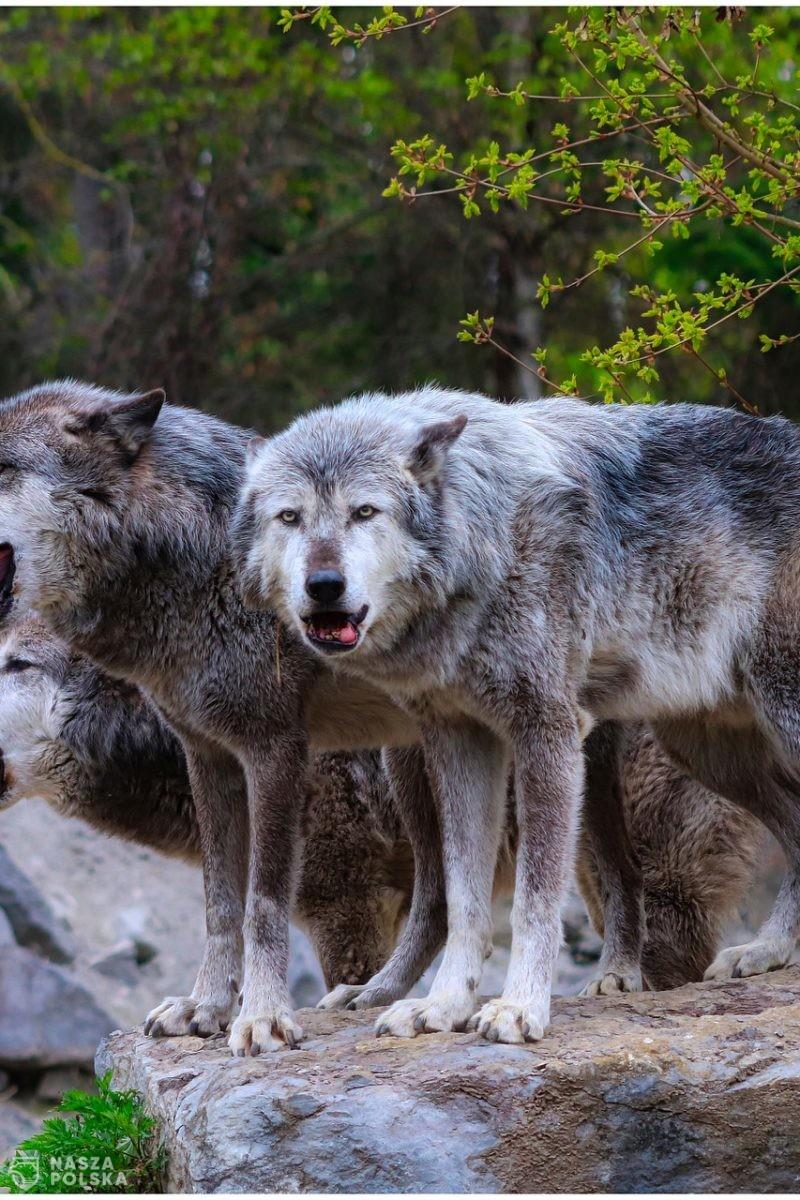 Burmistrz Brzozowa wystąpił o zgodę na odstrzał wilków