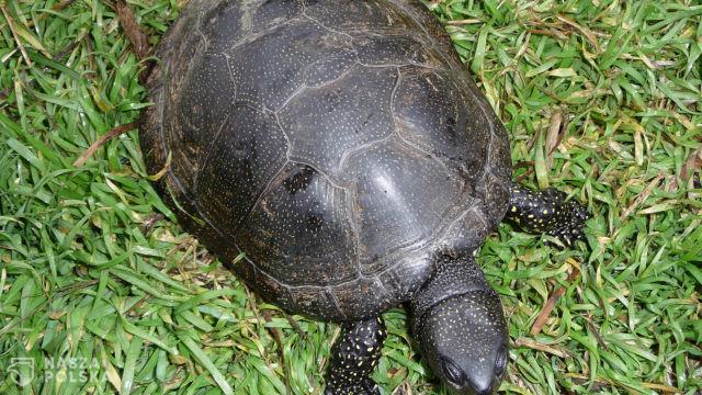Warmińsko-mazurskie/ Naukowcy wypuścili na wolność 25 małych żółwi, wcześniej je inkubowali