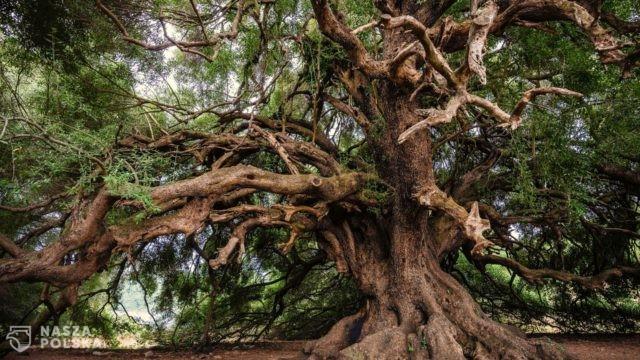 Raport: Około jedna trzecia gatunków drzew na świecie zagrożona wyginięciem